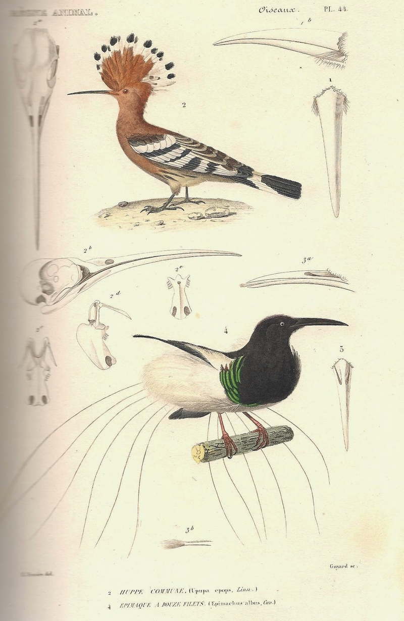 common hoopoe (Upupa epops), twelve-wired bird-of-paradise ...