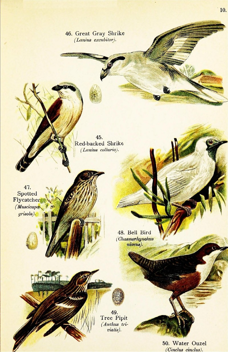 red-backed shrike (Lanius collurio), great grey shrike (Lanius excubitor), spotted flycatcher (Muscicapa striata), white bellbird (Procnias albus), tree pipit (Anthus trivialis), white-throated dipper (Cinclus cinclus); DISPLAY FULL IMAGE.