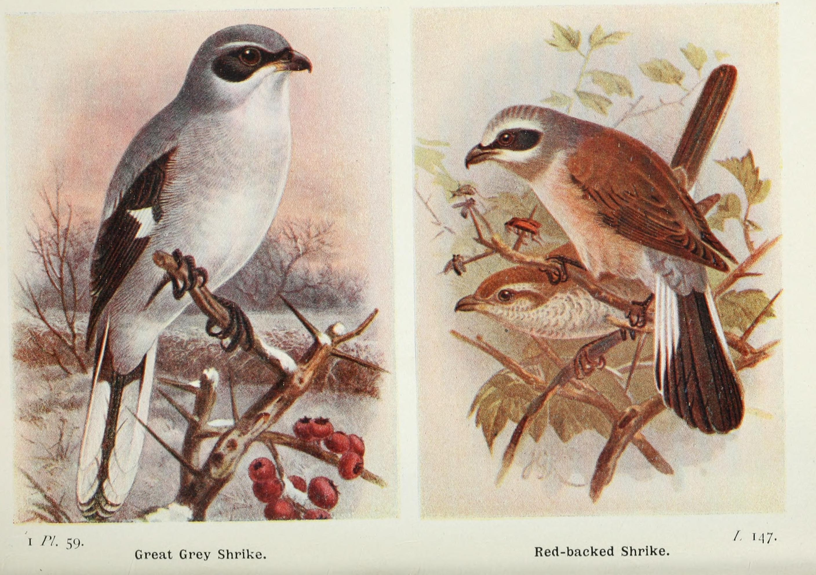 great grey shrike (Lanius excubitor), red-backed shrike (Lanius collurio); Image ONLY