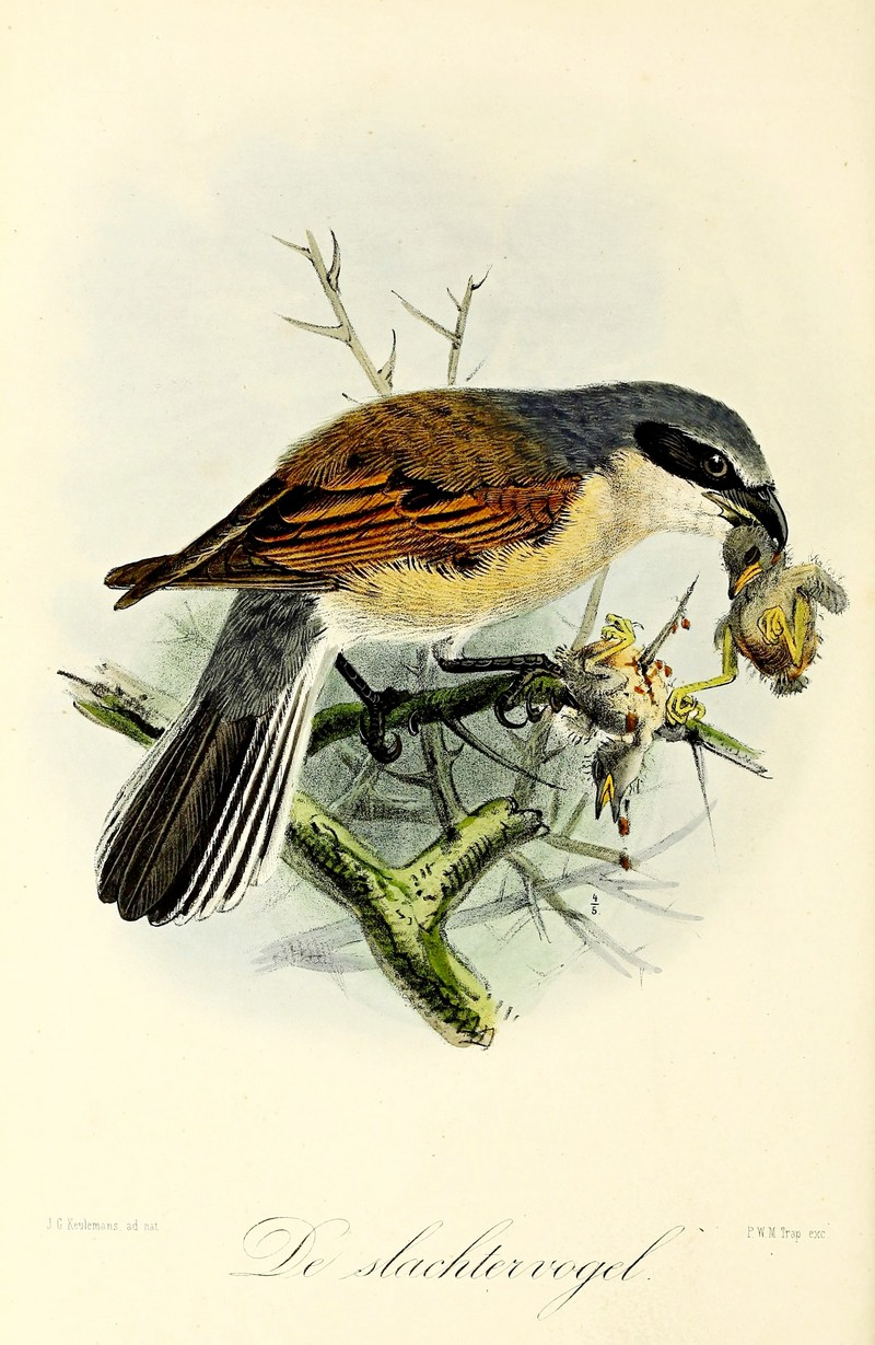red-backed shrike (Lanius collurio); DISPLAY FULL IMAGE.
