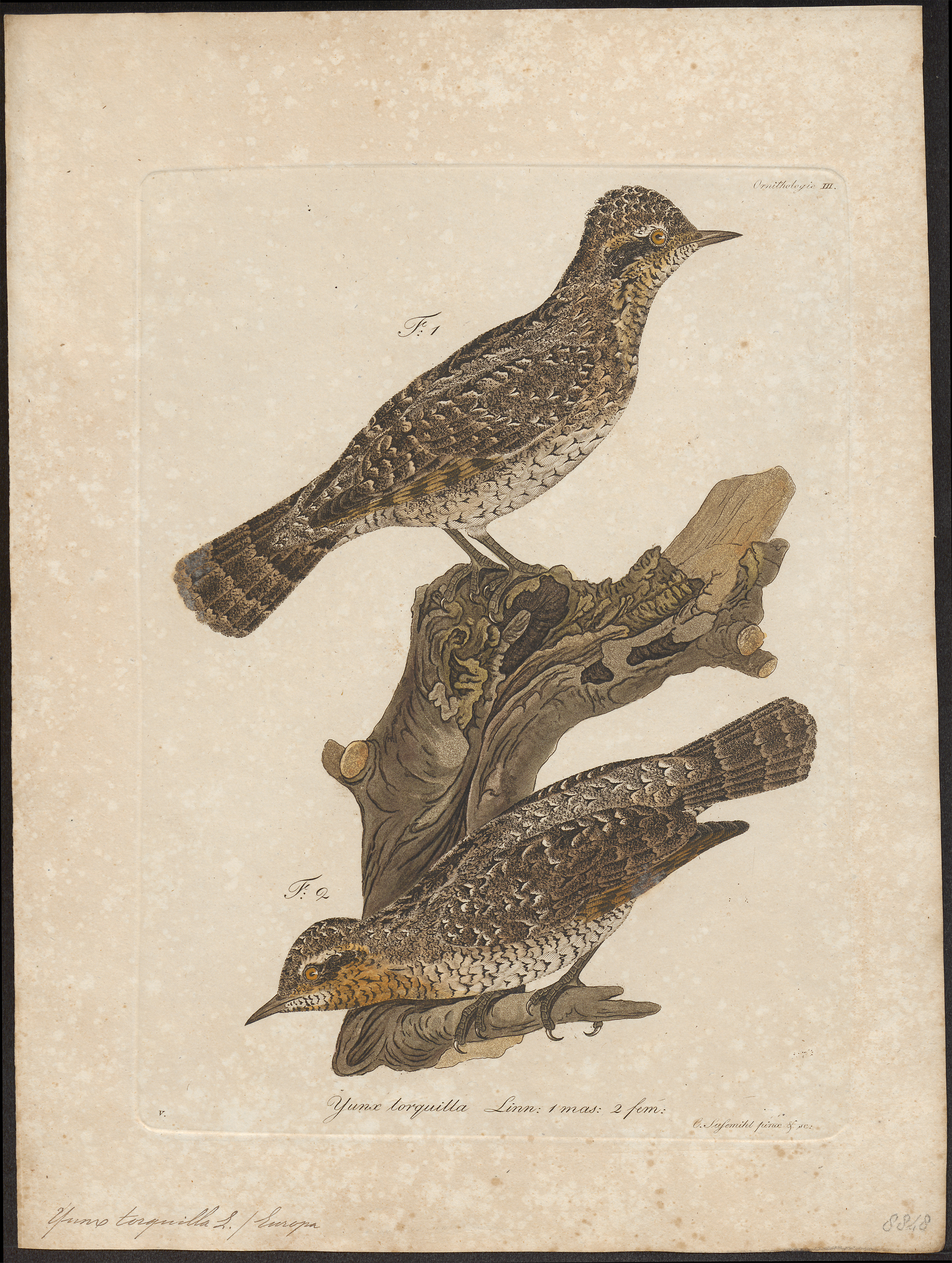 Eurasian wryneck (Jynx torquilla); Image ONLY