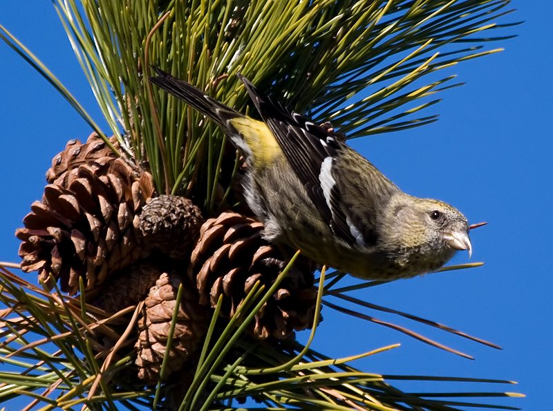 white-winged crossbill (Loxia leucoptera leucoptera); DISPLAY FULL IMAGE.