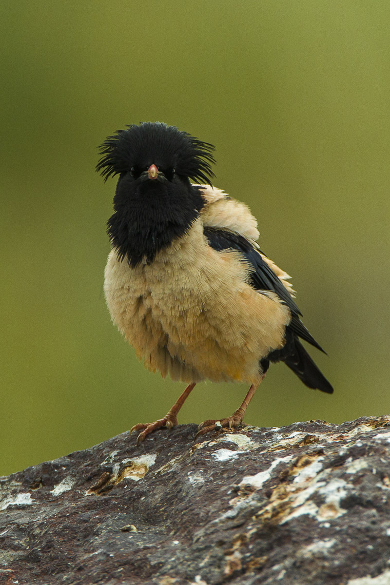 rosy starling (Pastor roseus); Image ONLY