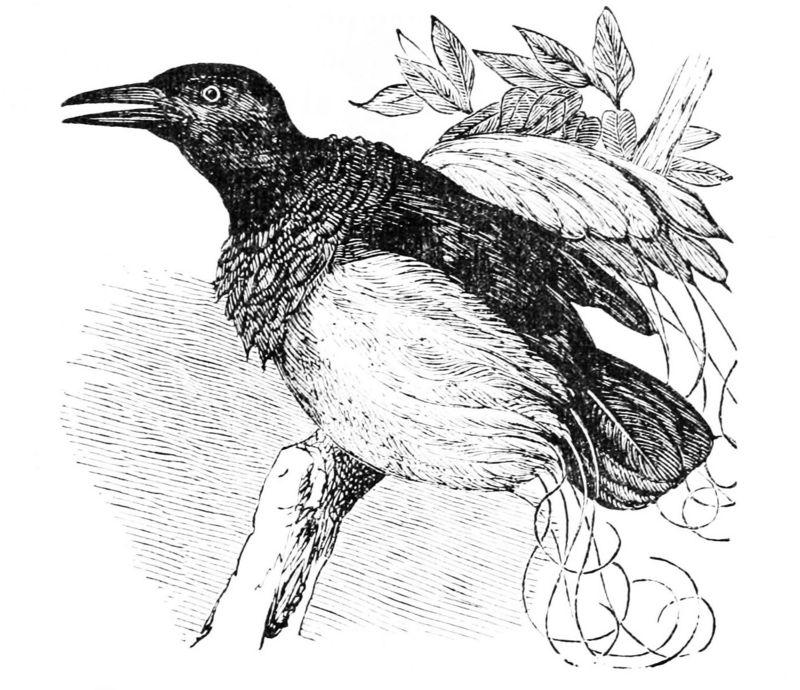 twelve-wired bird-of-paradise (Seleucidis melanoleucus)