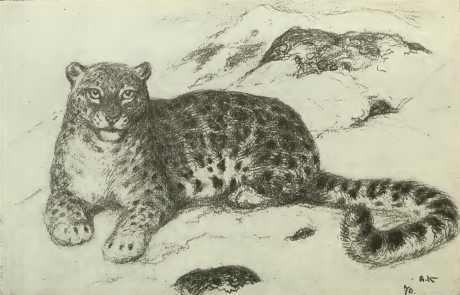 snow leopard, ounce (Panthera uncia syn. Uncia uncia); Image ONLY