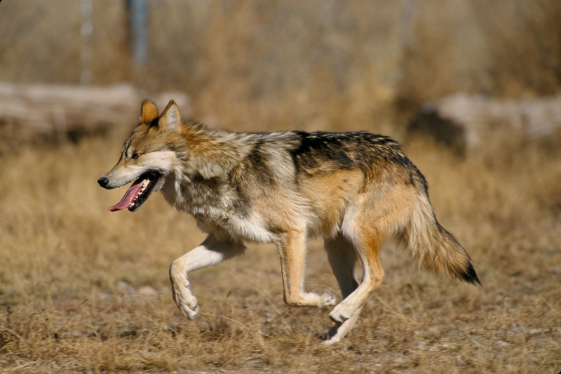 Mexican wolf (Canis lupus baileyi); DISPLAY FULL IMAGE.
