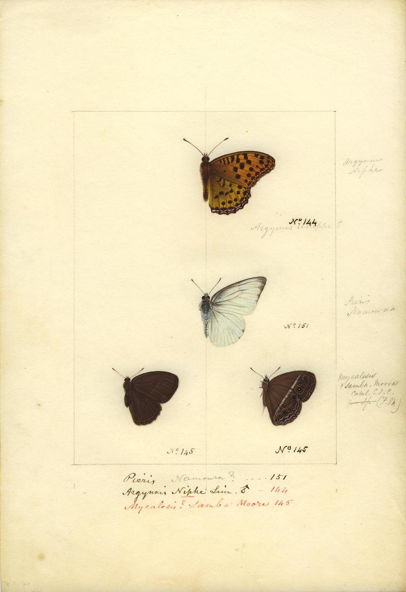 Indian fritillary (Argynnis hyperbius), plain puffin (Appias indra), dingy bushbrown (Mycalesis perseus); DISPLAY FULL IMAGE.