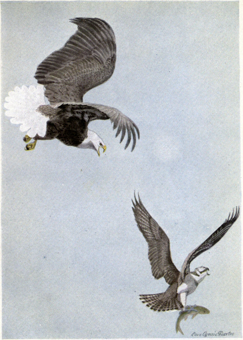 bald eagle (Haliaeetus leucocephalus), Osprey (Pandion haliaetus); DISPLAY FULL IMAGE.