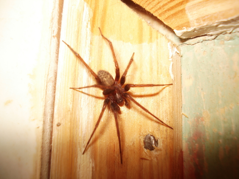 barn funnel weaver, domestic house spider (Tegenaria domestica); DISPLAY FULL IMAGE.