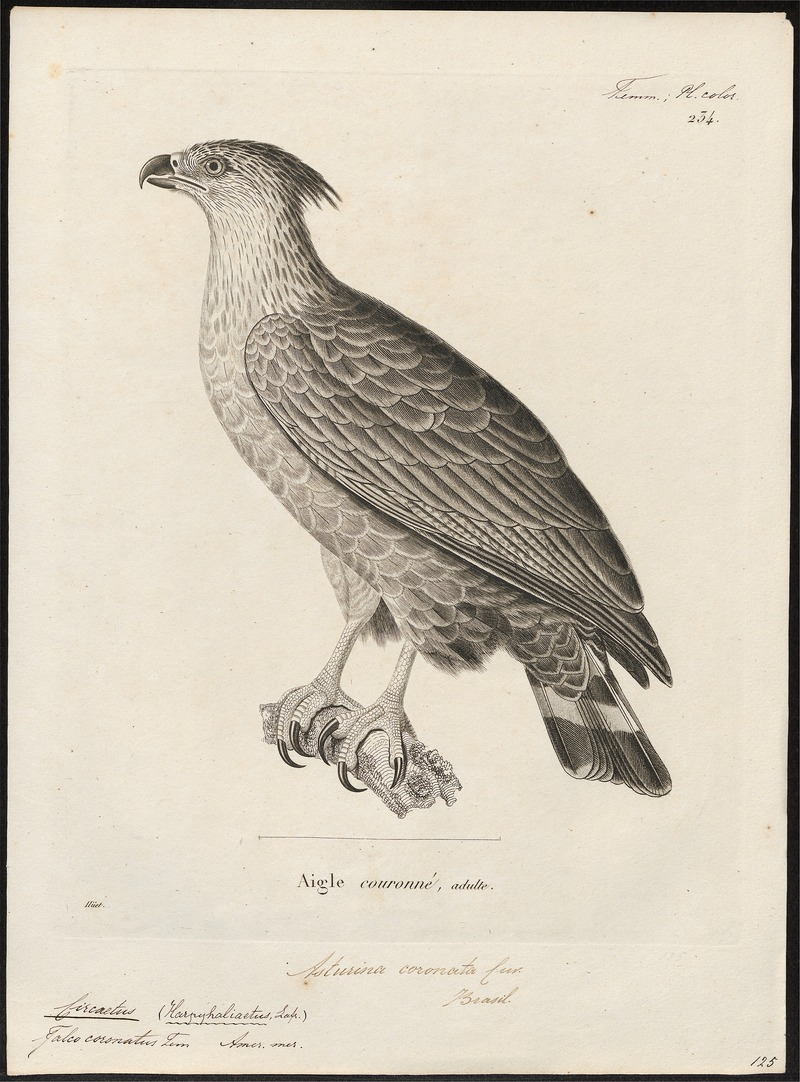 Chaco eagle, crowned solitary eagle (Buteogallus coronatus); DISPLAY FULL IMAGE.