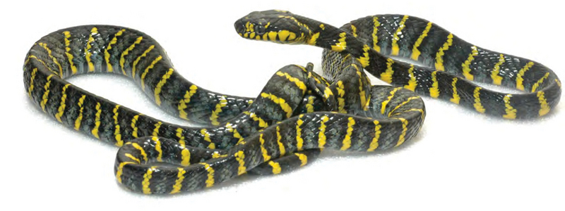 mangrove snake, gold-ringed cat snake (Boiga dendrophila divergens); DISPLAY FULL IMAGE.