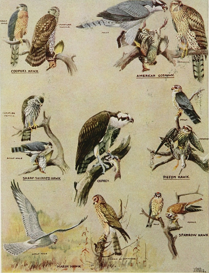 Articles about birds from National geographic magazine ((19--)-(193--)) (20799791265).jpg