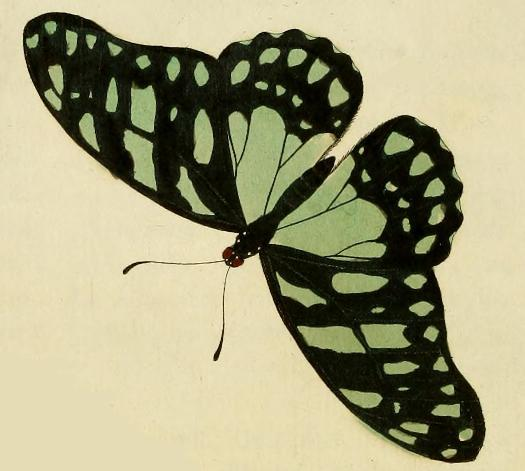 veined swordtail (Graphium leonidas); Image ONLY