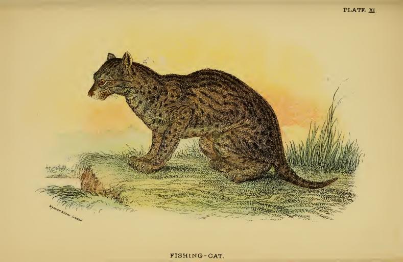 Lydekker - Fishing Cat.JPG
