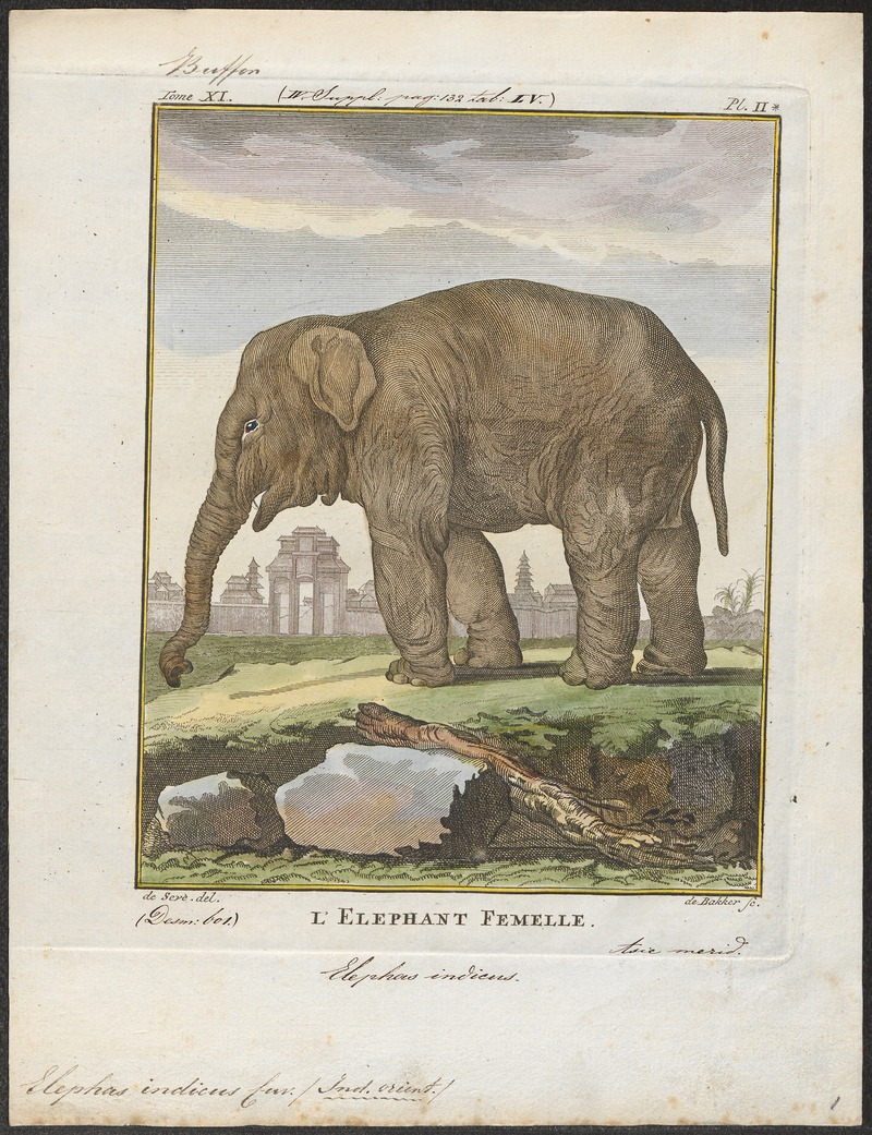 Indian elephant (Elephas maximus indicus); DISPLAY FULL IMAGE.