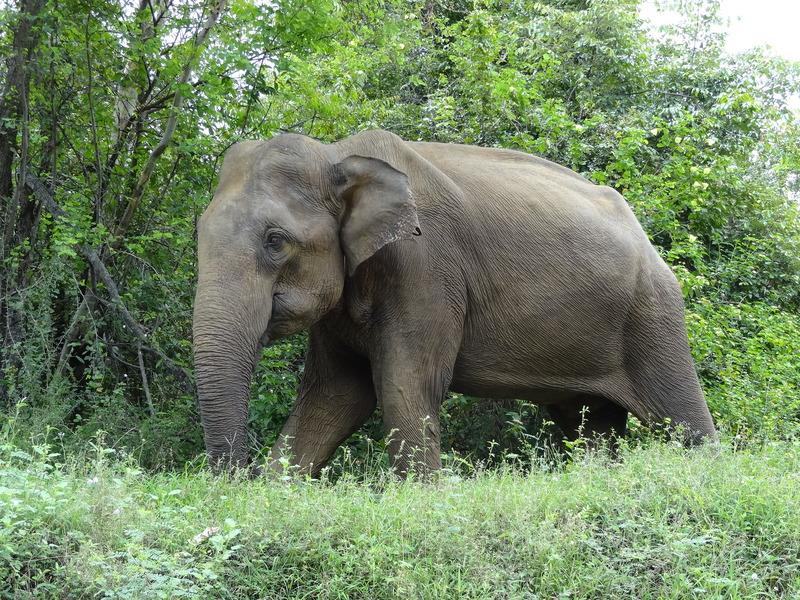 Male elephant at A-15, Sri Lanka - Sri Lankan elephant (Elephas maximus maximus).JPG