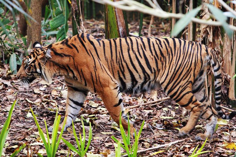 Tiger - melbourne zoo - Sumatran tiger (Panthera tigris sumatrae).jpg