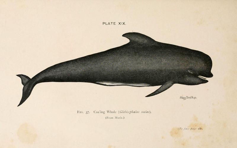 Long-finned Pilot Whale (6002011771).jpg