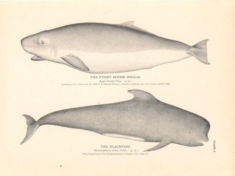 Pigmy.sperm.whale.jpg
