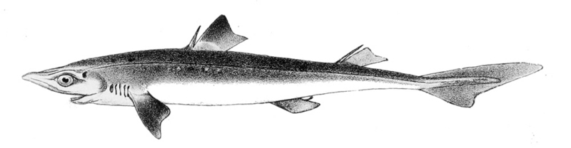 spiny dogfish (Squalus acanthias); DISPLAY FULL IMAGE.