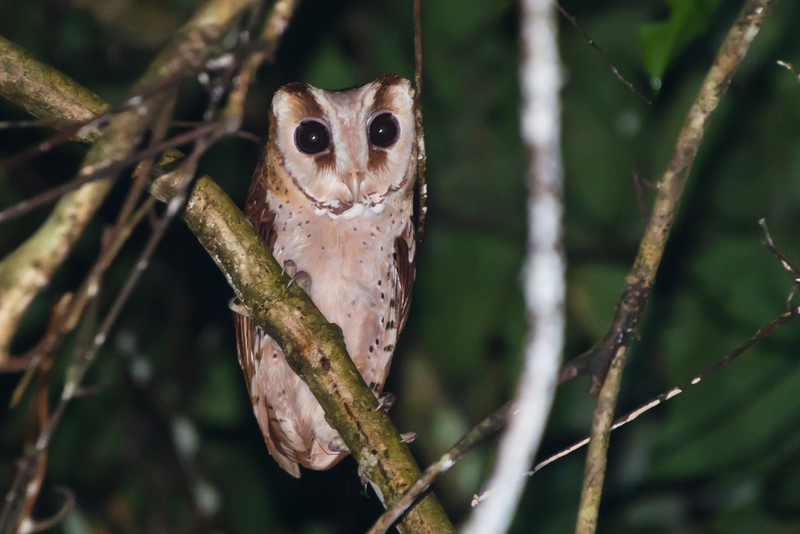 oriental bay owl (Phodilus badius); DISPLAY FULL IMAGE.