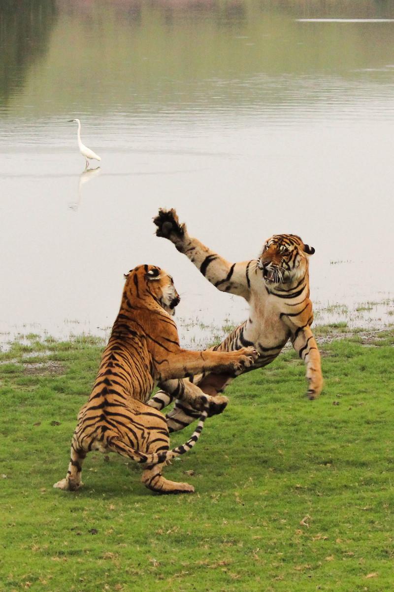 Flying Princess - Bengal tiger (Panthera tigris tigris), tigers playing.jpg