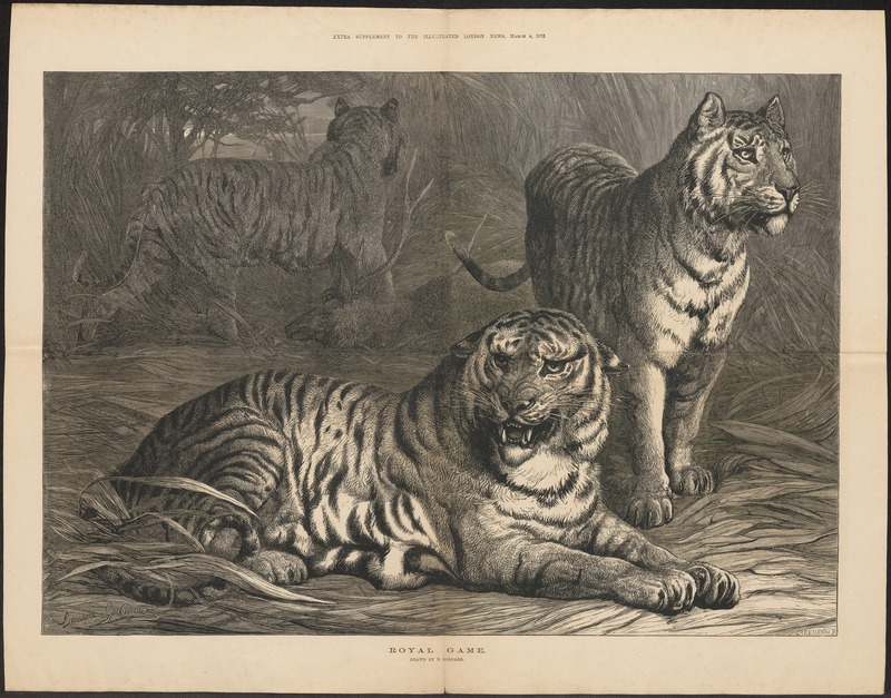 Felis tigris - 1876 - Print - Iconographia Zoologica - Special Collections University of Amsterdam - UBA01 IZ22100091.jpg