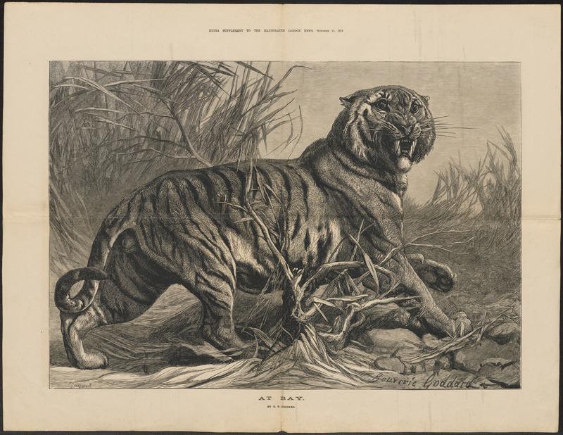 Felis tigris - 1879 - Print - Iconographia Zoologica - Special Collections University of Amsterdam - UBA01 IZ22100071.jpg