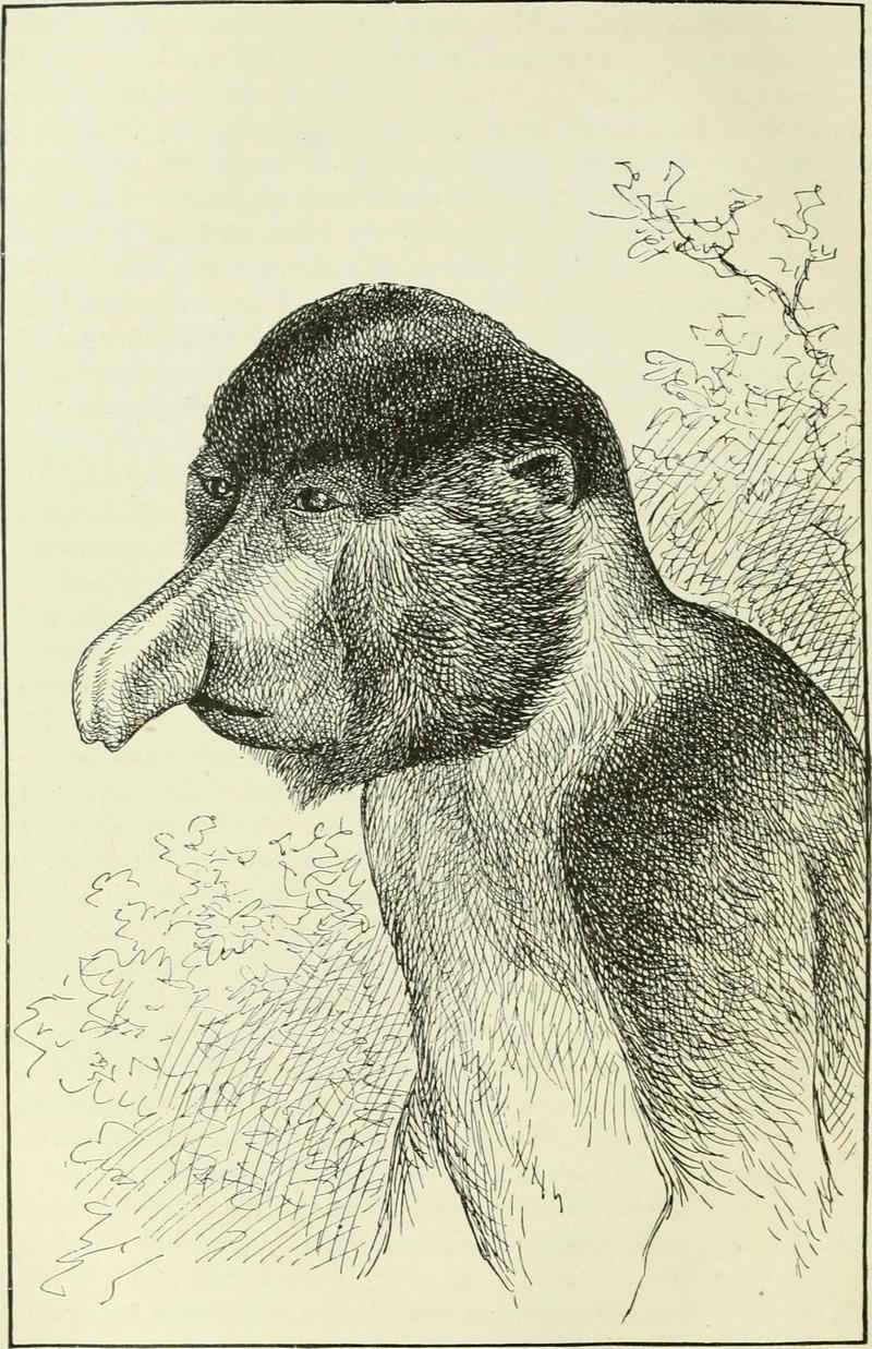 proboscis monkey, long-nosed monkey (Nasalis larvatus); DISPLAY FULL IMAGE.
