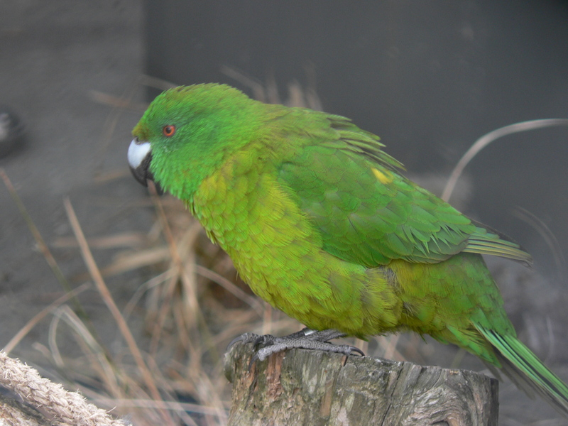 Antipodes Island parakeet (Cyanoramphus unicolor); DISPLAY FULL IMAGE.
