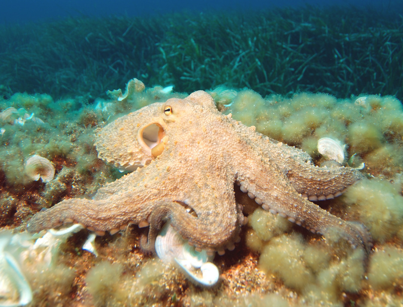 common octopus (Octopus vulgaris); DISPLAY FULL IMAGE.