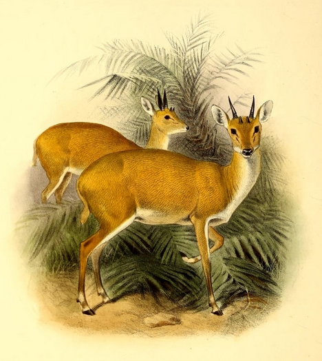 four-horned antelope, chousingha (Tetracerus quadricornis); Image ONLY