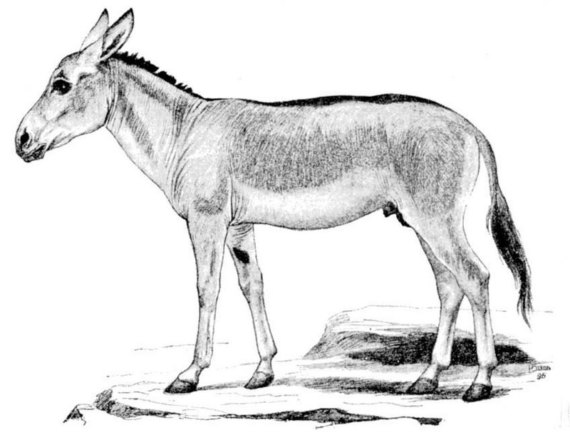 Persian onager (Equus hemionus onager); DISPLAY FULL IMAGE.