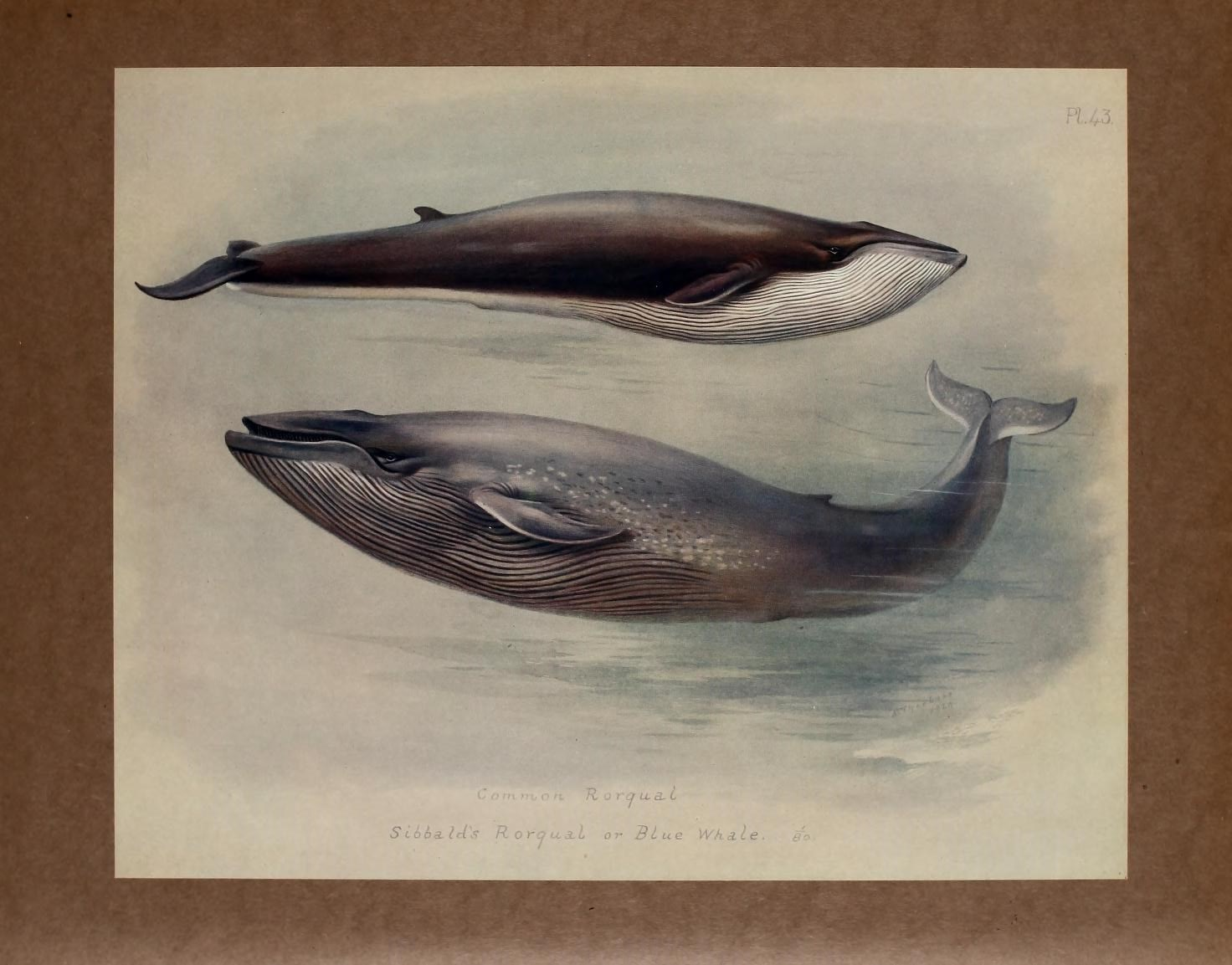 fin whale (Balaenoptera physalus), blue whale (Balaenoptera musculus); Image ONLY
