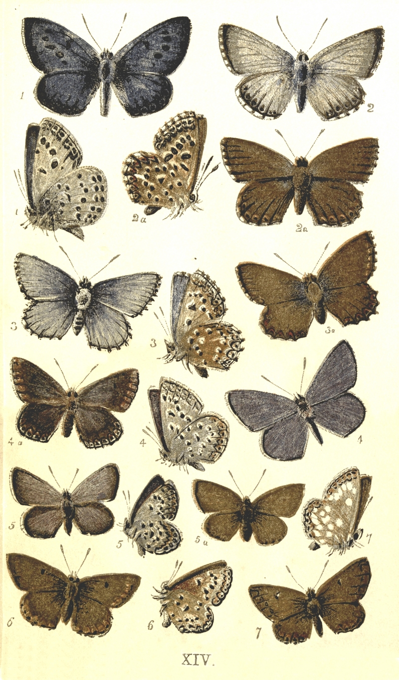 Colemans British Butterflies Plate XIV.png