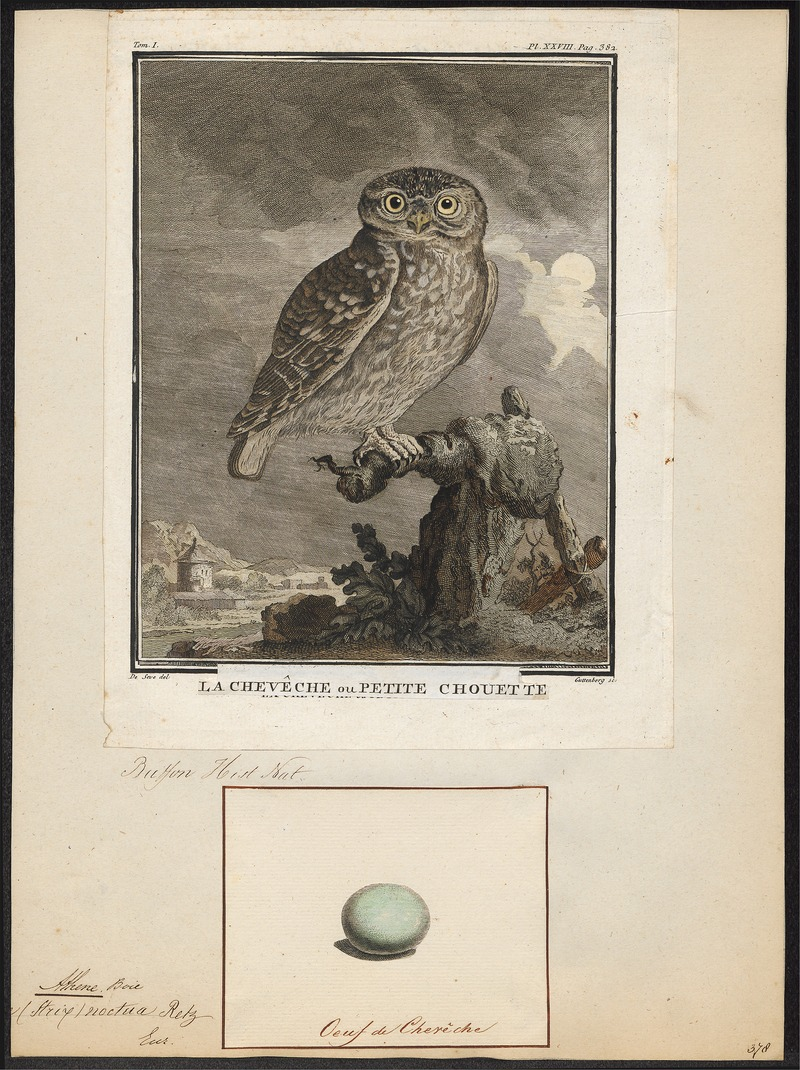 little owl (Athene noctua); DISPLAY FULL IMAGE.