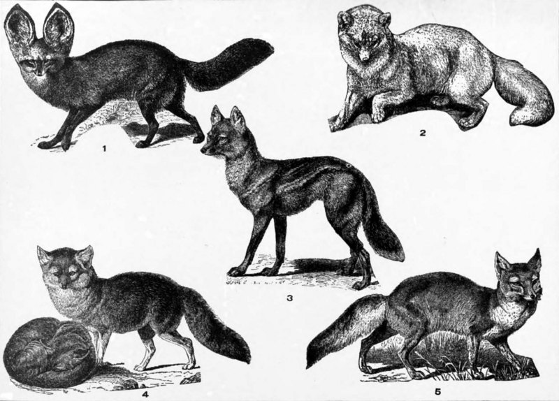Foxes: Cape fox (Vulpes chama), Arctic fox (Vulpes lagopus), side-striped jackal (Canis adustus), silver fox or red fox (Vulpes vulpes), corsac fox (Vulpes corsac); DISPLAY FULL IMAGE.