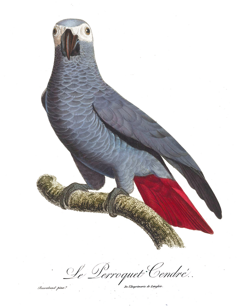 African grey parrot (Psittacus erithacus); DISPLAY FULL IMAGE.