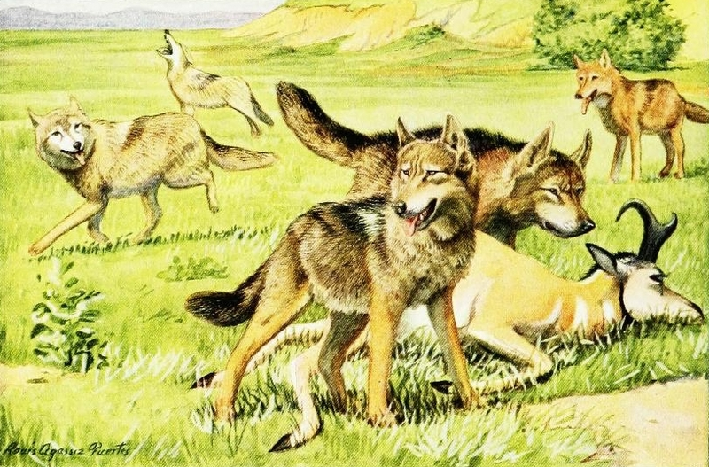 The book of dogs (1919) Timber wolf and coyote.png