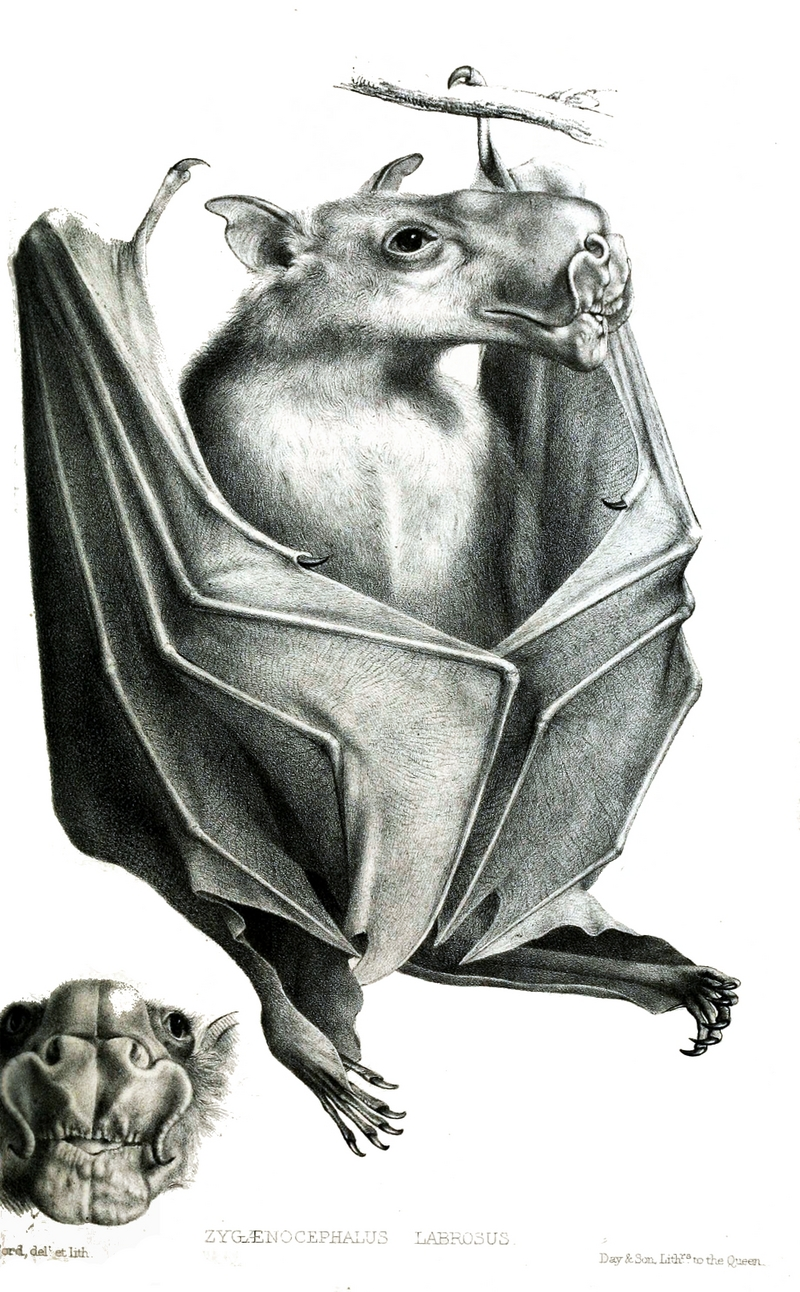 hammer-headed bat (Hypsignathus monstrosus); DISPLAY FULL IMAGE.