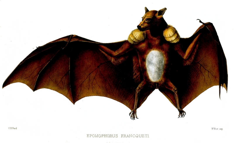 Franquet's epauletted fruit bat (Epomops franqueti); DISPLAY FULL IMAGE.