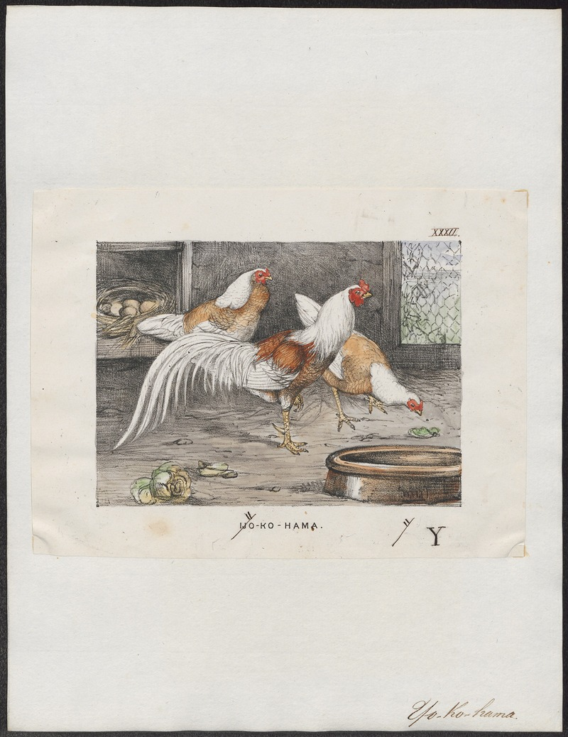 domestic chicken (Gallus gallus domesticus); DISPLAY FULL IMAGE.