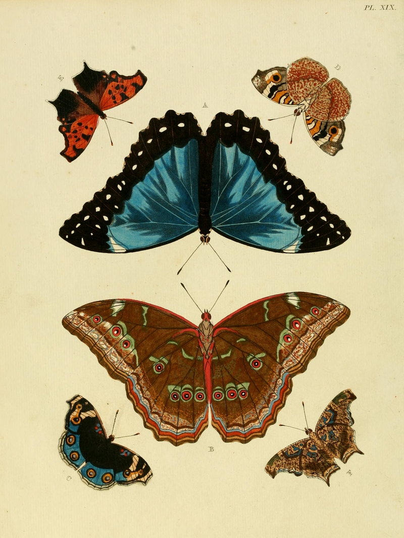 Menelaus blue morpho (Morpho menelaus), blue pansy (Junonia orithya), Asian comma (Polygonia c-aureum); DISPLAY FULL IMAGE.