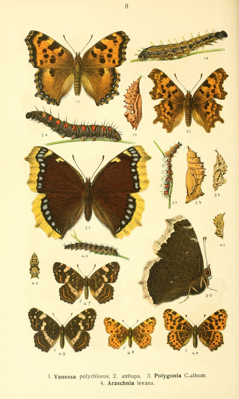 large tortoiseshell (Nymphalis polychloros), mourning cloak (Nymphalis antiopa), comma butterfly (Polygonia c-album), map butterfly (Araschnia levana); DISPLAY FULL IMAGE.