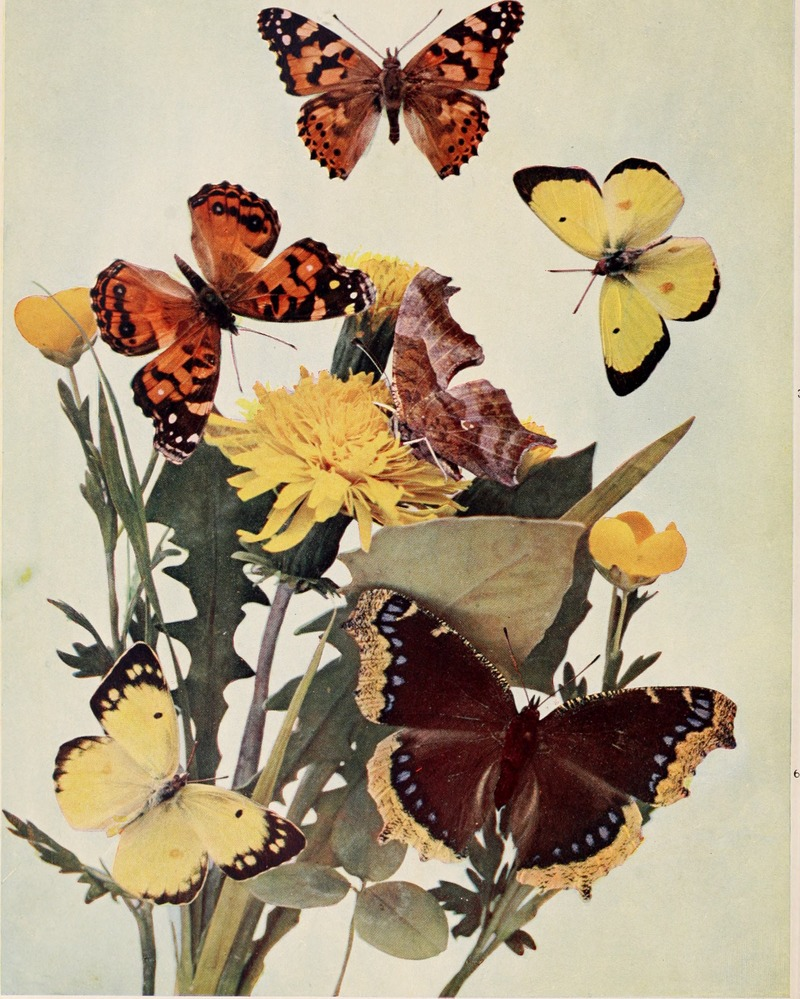 painted lady (Vanessa cardui), American lady (Vanessa virginiensis), question mark butterfly (Polygonia interrogationis), clouded sulphur (Colias philodice), mourning cloak (Nymphalis antiopa); DISPLAY FULL IMAGE.