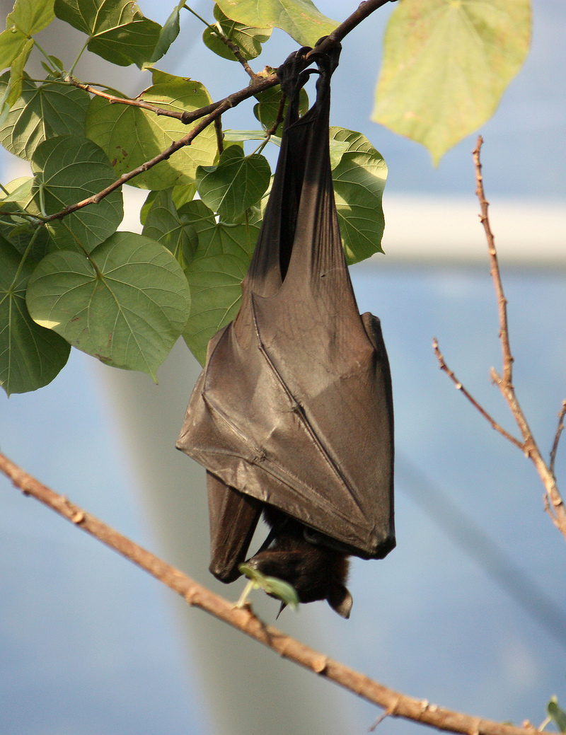 large flying fox (Pteropus vampyrus); DISPLAY FULL IMAGE.