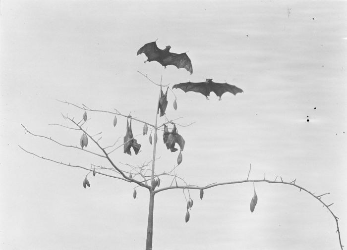 large flying fox (Pteropus vampyrus); Image ONLY