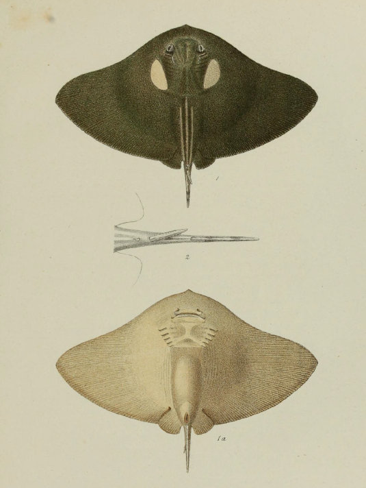 spiny butterfly ray (Gymnura altavela); Image ONLY