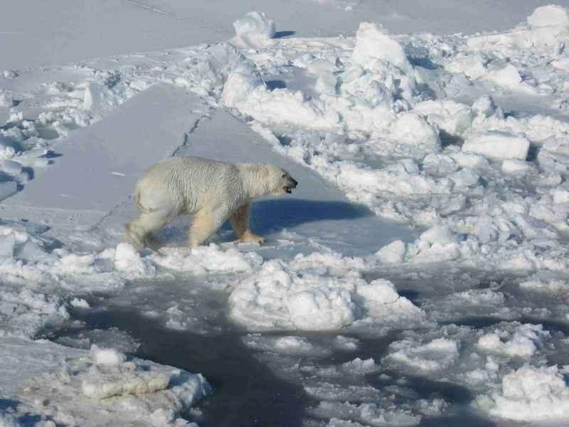 Male polar white bear walks on pack ice ursus maritimus.jpg