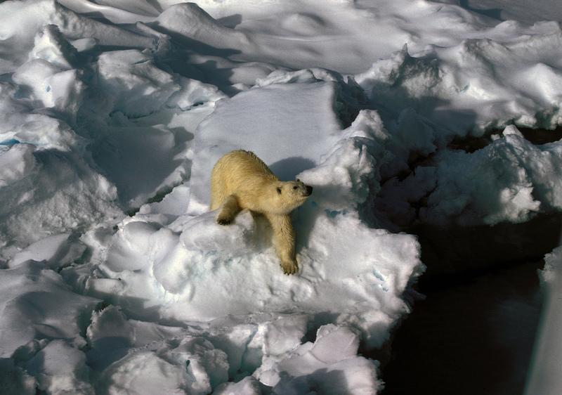 1991 polar-bear02 hg.jpg